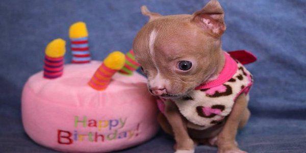 Cel mai mic pui de pitbull, Sasha, este hotărâtă să trăiască